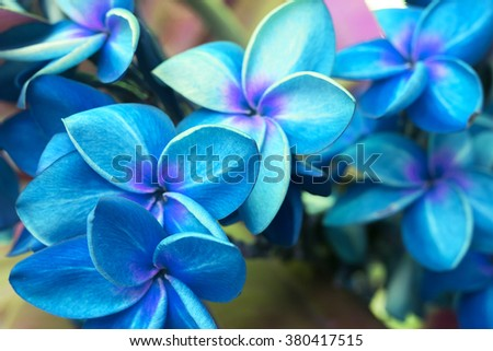 beautiful sweet color, Plumeria flowers  (frangipani flowers, Frangipani, Pagoda tree or Temple tree) blooming fresh abstract blur color. - stock photo