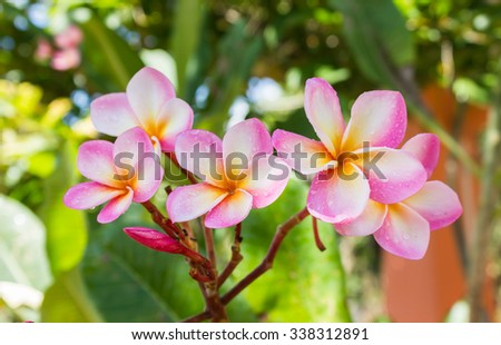 Beautiful sweet pink flower plumeria bunch in home garden with  happy morning mood and natural background