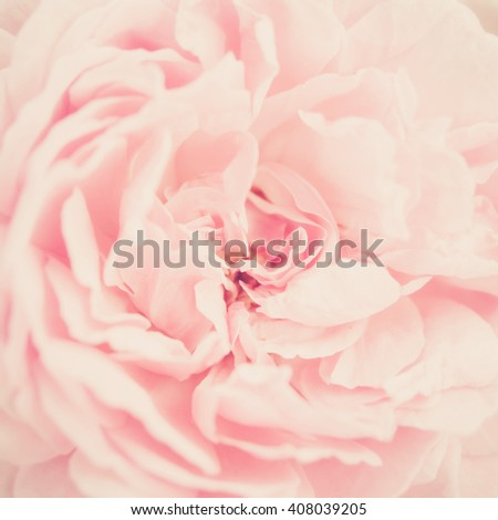 Beautiful sweet pink roses in soft focus style for flora background. Pastel color tone. - stock photo