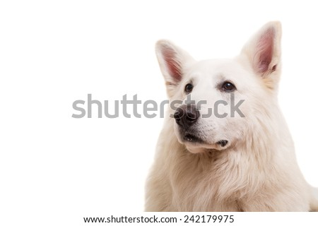 Beautiful Swiss White Shepherd dog posing in studio
