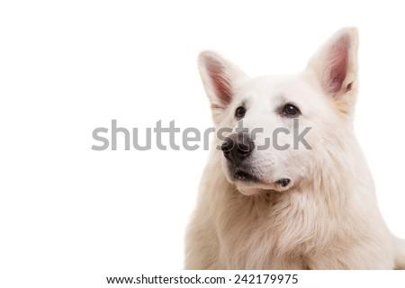 Beautiful Swiss White Shepherd dog posing in studio - stock photo