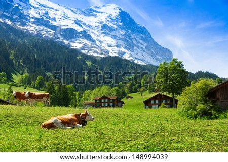 Beautiful Switzerland cows with snow cup mountain on background - stock photo