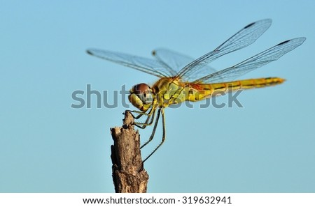 Beautiful sympetrum dragonfly in equilibrium on blue background - stock photo