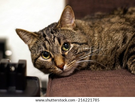 """Beautiful tabby cat is looking green eyes . Cat is called """"Darik"""". He came to us from the street. He was a stray, non-domestic kitten. Since then, it took about 7 years. Kitten become a big cat. - stock photo"""