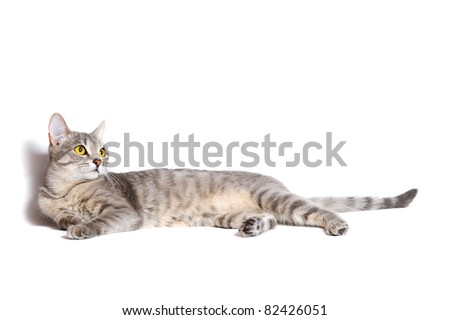 beautiful tabby cat lying on white background