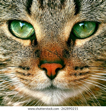 beautiful tabby cat potrait with green eyes - stock photo