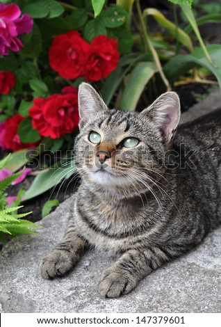 Beautiful tabby cat sitting in the garden on the porch near a flowering bush with red roses and enjoy. - stock photo