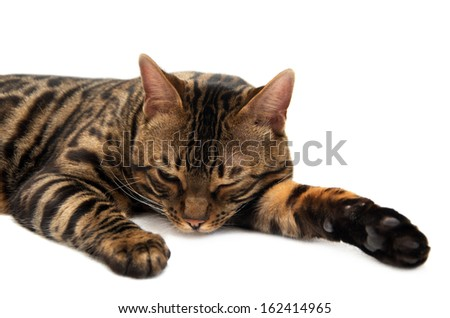Beautiful tabby composedly lies - stock photo