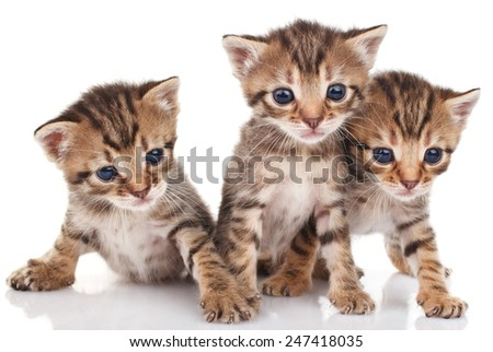 beautiful tabby kittens on a white background