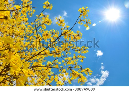 Beautiful Tabebuia chrysotricha yellow or Golden Trumpet flowers blossom in spring day on blue sky and sun background - stock photo