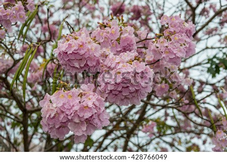Beautiful Tabebuia rosea tree and rosy trumpet tree pink flower blooming in garden  During rain .soft focus - stock photo
