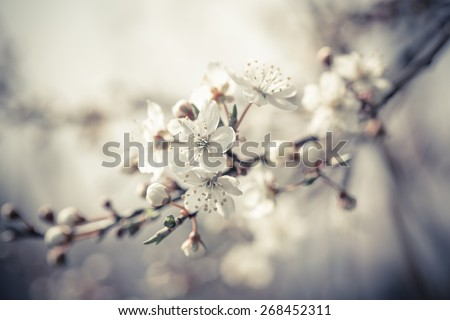 Beautiful tender cheery tree flowers border, blooming nature, first blossom, sunny day, natural border, spring time - stock photo