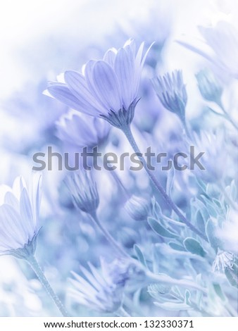 Beautiful tender daisy flowers, natural wallpaper, soft focus, blue blurry pastel picture, spring nature - stock photo