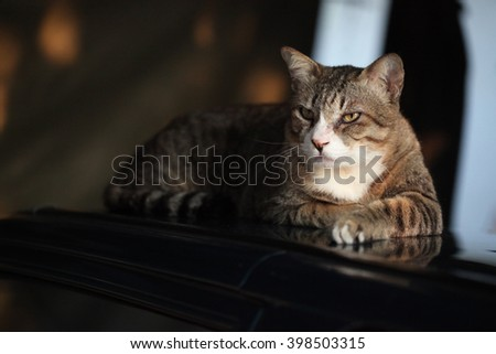 beautiful thai cat in the dramatic mood  - stock photo