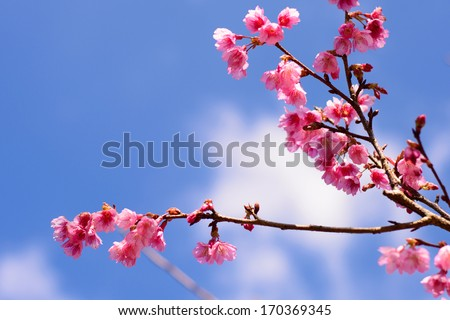 Beautiful Thailand cherry blossom, Chiang Mai, Thailand - stock photo