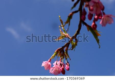 Beautiful Thailand cherry blossom, Chiang Mai, Thailand - stock photo