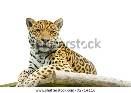 Beautiful tiger closeup, isolated on white background - stock photo