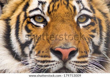 Beautiful tiger cub - stock photo