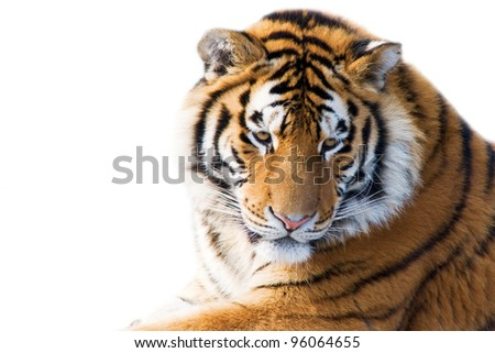 Beautiful tiger cub closeup - isolated on white background - stock photo