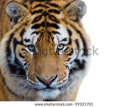 Beautiful tiger cub - isolated on white background - stock photo