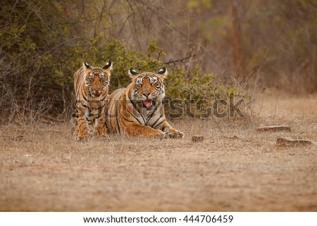beautiful tiger family together lying on the dry grassland/wild animal in the nature habitat/India - stock photo