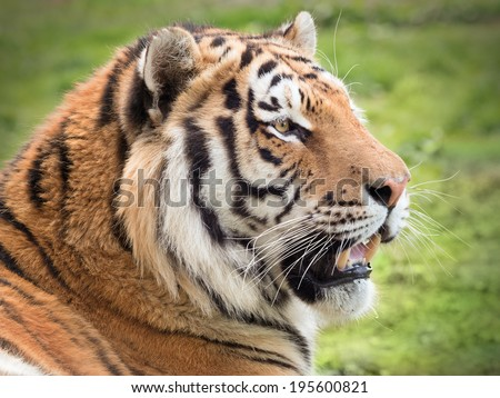 Beautiful tiger in grass - stock photo