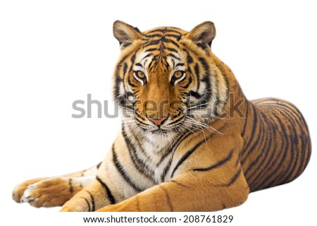 Beautiful tiger - isolated on white background - stock photo