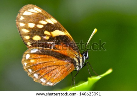 Beautiful Tiger Mimic Butterfly on a leaf