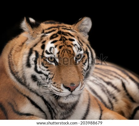 Beautiful tiger on a black background. - stock photo