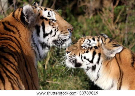 Beautiful Tiger pair greeting each other in affection - stock photo