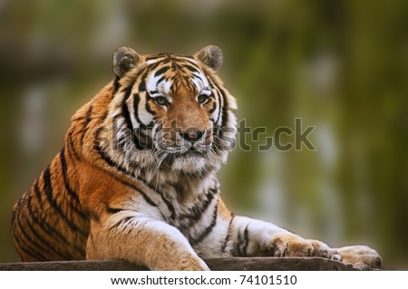 Beautiful tiger relaxing on warm day - stock photo
