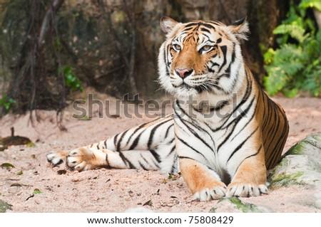 Beautiful tiger sitting - stock photo