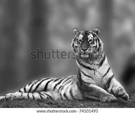 Beautiful tiger sitting upright and alert in stunning black and white - stock photo