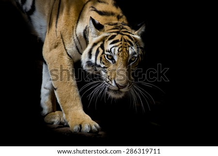 Beautiful tiger walking step by step isolated on black background - stock photo