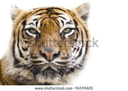 Beautiful tigerr - isolated on white background - stock photo
