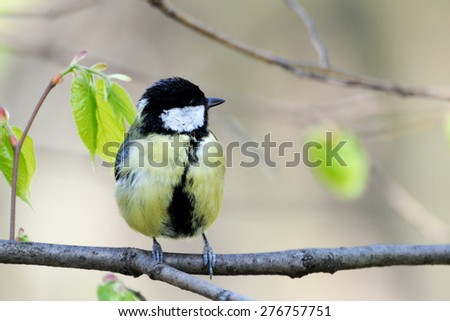 Beautiful titmouse on a branch - stock photo