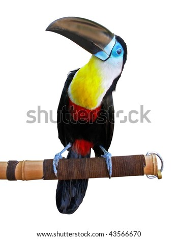 Beautiful toucan isolated on white - stock photo