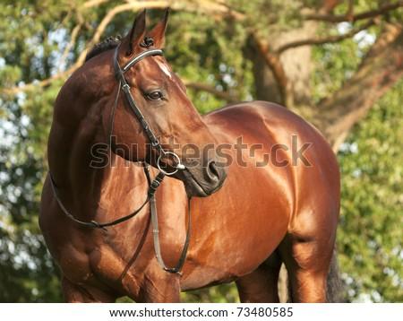 beautiful trakehner stallion - stock photo
