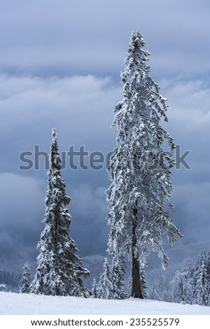 Beautiful tranquil winter landscape with snow covered frozen tall spruce trees on a cloudy misty morning. - stock photo