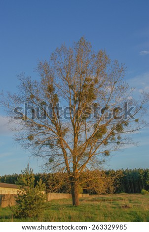Beautiful tree at sunset in a field - stock photo
