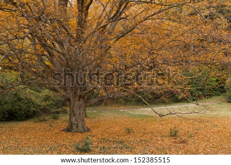 Beautiful tree with golden leaves in autumn park. Vorontsov Park in Alupka on the southern coast of Crimea
