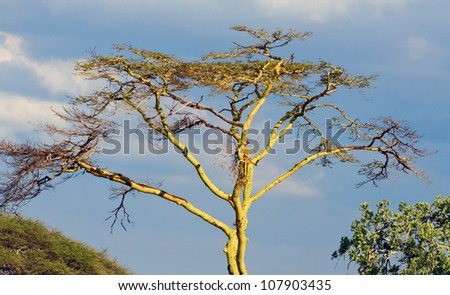 Beautiful trees in Serengeti National Park - Tanzania, East Africa - stock photo