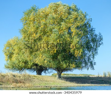 Beautiful trees in the Delta of the Volga River on background of blue sky, Russia - stock photo