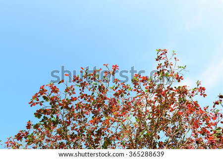 Beautiful trees  red and green on sky background