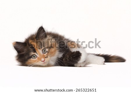 Beautiful tricolor Maine Coon kitten isolated on white