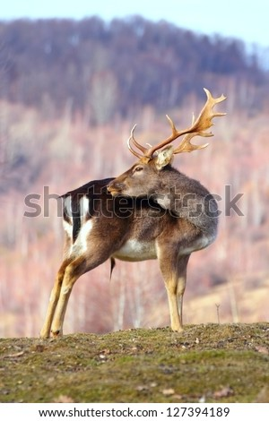 beautiful trophy fallow deer buck standing on the small grass in winter - stock photo