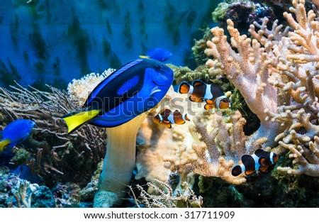 beautiful tropical blue fish and clownfish in aquarium - stock photo