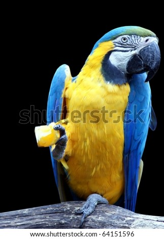 beautiful tropical parrot closeup, isolated on black background - stock photo