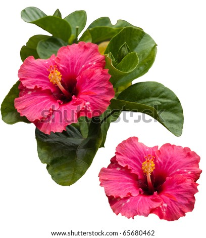 Beautiful tropical pink hibiscus and its leaves, isolated on white background