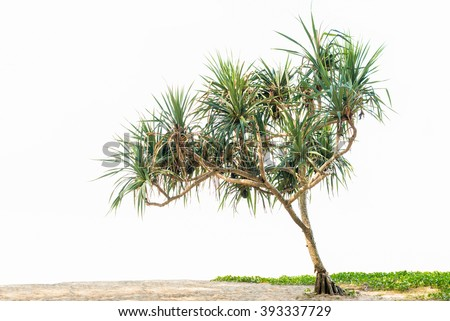 Beautiful tropical plant Pandanus tree on sand beach and Ipomoea. isolated on white background, copy space. - stock photo
